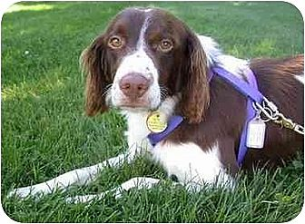 Brittany Dog for adoption in Buffalo, New York - Brittany Dogs - Adopted but