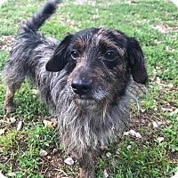 Adopt A Pet :: Lil Rusty - Russellville, KY