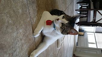 Domestic Shorthair Cat for adoption in Parkville, Missouri - Chester