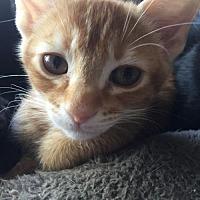 Adopt A Pet :: Roufus - Chandler, AZ