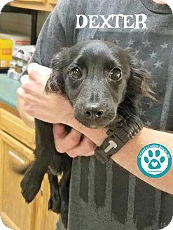 Terrier (Unknown Type, Small)/Feist Mix Puppy for adoption in Kimberton, Pennsylvania - Dexter