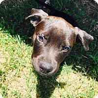 Adopt A Pet :: Lola Lee - Los Banos, CA