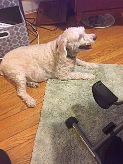Cockapoo Dog for adoption in Baltimore, Maryland - Shishi