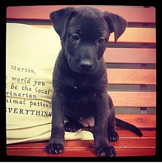 Labrador Retriever Mix Puppy for adoption in Grand Bay, Alabama - Dina