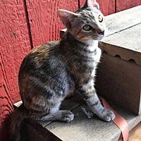 Adopt A Pet :: Prissy - Nashville, TN