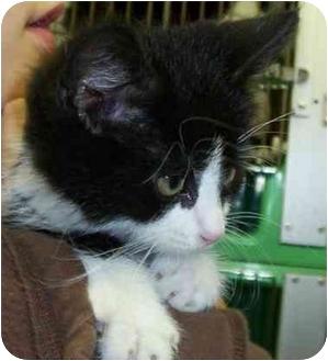 Domestic Shorthair Kitten for adoption in Somerset, Pennsylvania - Hal