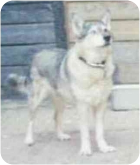 Husky/German Shepherd Dog Mix Dog for adoption in Chicago, Illinois - Honey Bunny(ADOPTED!)