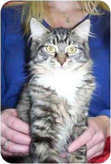 Domestic Mediumhair Kitten for adoption in Reston, Virginia - Meri