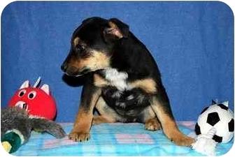 German Shepherd Dog/Shepherd (Unknown Type) Mix Puppy for adoption in Broomfield, Colorado - Tanith