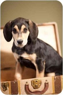 Black and Tan Coonhound/Labrador Retriever Mix Puppy for adoption in Portland, Oregon - Purdy
