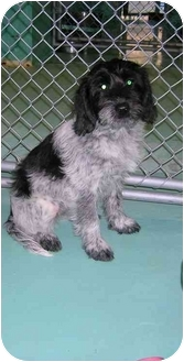 Wirehaired Pointing Griffon Mix Puppy for adoption in Haverhill, Massachusetts - Holly