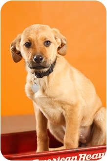 German Shepherd Dog/Labrador Retriever Mix Puppy for adoption in Portland, Oregon - Cinderella