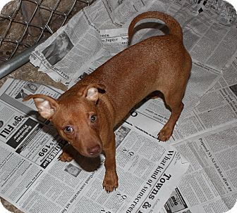 Miniature Pinscher/Chihuahua Mix Puppy for adoption in Homer, New York - Pheanis