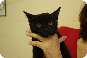 Domestic Shorthair Kitten for adoption in Elyria, Ohio - George