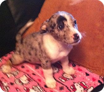 Maltese/Catahoula Leopard Dog Mix Puppy for adoption in Walker, Louisiana - Lulu