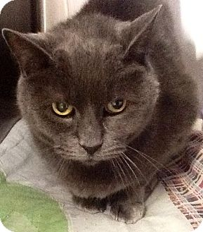 Domestic Shorthair Cat for adoption in Webster, Massachusetts - Buddy