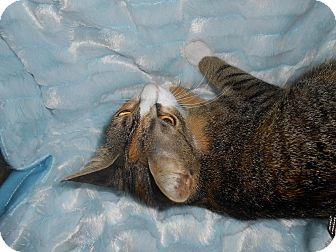 Domestic Shorthair Cat for adoption in Arlington/Ft Worth, Texas - Clara