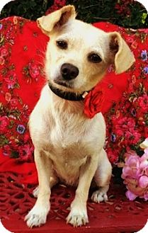 Cairn Terrier/Terrier (Unknown Type, Small) Mix Dog for adoption in Irvine, California - Kim