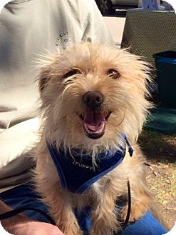 Terrier (Unknown Type, Small) Mix Dog for adoption in Pleasanton, California - Rusty-Adoption Pending