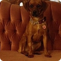Adopt A Pet :: Dixie - Vancouver, BC