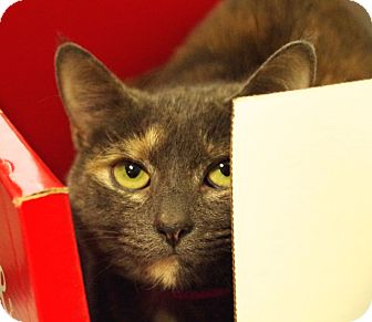 Domestic Shorthair Cat for adoption in Daytona Beach, Florida - Patchy