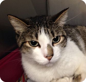 Domestic Shorthair Cat for adoption in Greensburg, Pennsylvania - Perry