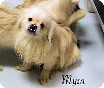 Pomeranian/Pekingese Mix Dog for adoption in Hartford, Kentucky - Myra