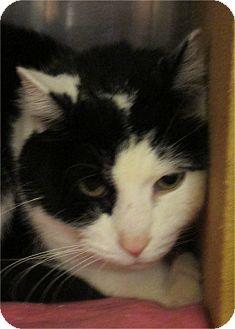 Domestic Shorthair Cat for adoption in Pueblo West, Colorado - Aniken