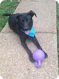 Labrador Retriever Mix Dog for adoption in Memphis, Tennessee - Raven
