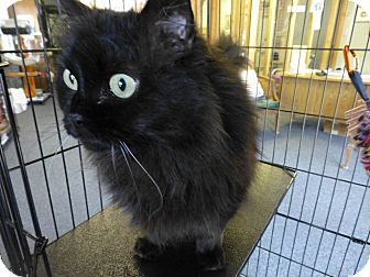 Persian Cat for adoption in Quincy, California - Dolly