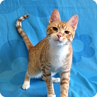 Adopt A Pet :: Creamsicle - Coral Springs, FL