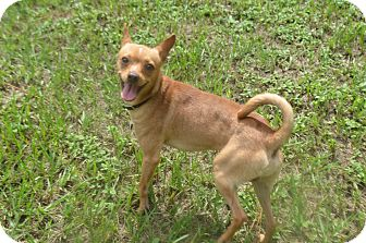 Chihuahua/Italian Greyhound Mix Puppy for adoption in Weeki Wachee, Florida - Chicklet