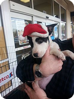 American Pit Bull Terrier Mix Puppy for adoption in Richburg, South Carolina - Guss