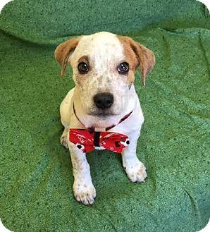 Beagle Mix Puppy for adoption in Philadelphia, Pennsylvania - Leon