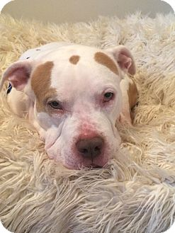 American Bulldog/American Pit Bull Terrier Mix Dog for adoption in Cherry Hill, New Jersey - Junior