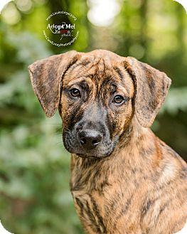 Boxer/Labrador Retriever Mix Puppy for adoption in Cincinnati, Ohio - Hobbs