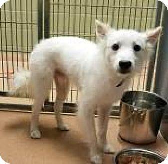 Eskimo Dog Mix Dog for adoption in Columbus, Georgia - Chauncey 5179