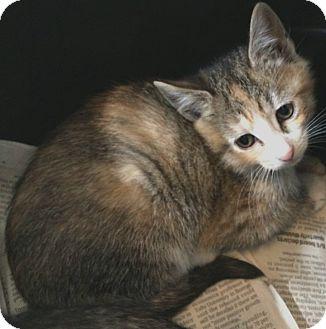 Domestic Shorthair Kitten for adoption in Jefferson, North Carolina - Magenta