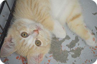 Domestic Shorthair Kitten for adoption in San Leon, Texas - Feta