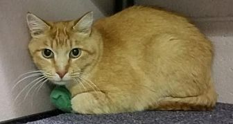 Domestic Shorthair Cat for adoption in Lakewood, Colorado - Ollie