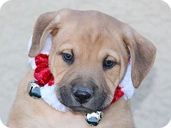 Anatolian Shepherd/Australian Cattle Dog Mix Puppy for adoption in Phoenix, Arizona - Axe