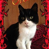 Domestic Shorthair Cat for adoption in Brainardsville, New York - Oreo