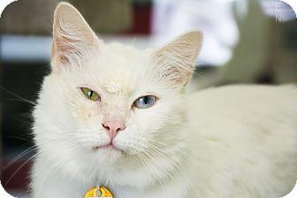 Domestic Longhair Cat for adoption in Hot Springs, Arkansas - Tres