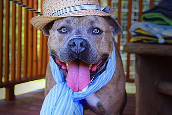 Pit Bull Terrier Dog for adoption in Fort Valley, Georgia - Rocko