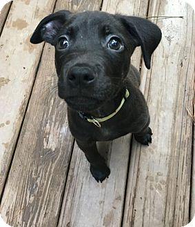 Pit Bull Terrier/Labrador Retriever Mix Puppy for adoption in Dallas, Georgia - Atlas