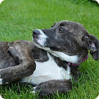 Adopt A Pet :: Starla - Danbury, CT