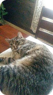 Domestic Mediumhair Cat for adoption in Pottsboro, Texas - Salem
