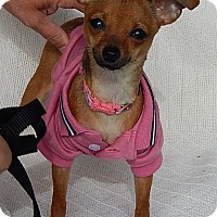 Chihuahua Puppy for adoption in Burlington, Vermont - Sadie (2 lb) Precious Teacup