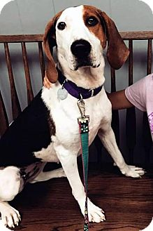 Treeing Walker Coonhound Dog for adoption in Ontario, Ontario - River