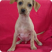 Chihuahua Puppy for adoption in Lawrenceville, Georgia - Kelso